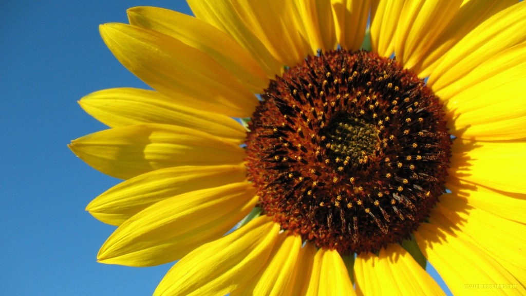 sunflower1920x1080